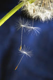 Balding dandelion. Close-up on a dark background royalty free stock photography