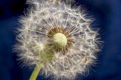 Balding dandelion. Close-up on a dark background stock photo