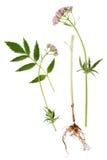 Baldrian-Blatt, Wurzel und Blume Stockbilder