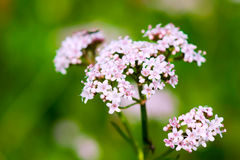 Baldrian (Valeriana officinalis) Stockfotos