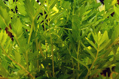Baldrianpflanzenblätter Stockbilder