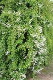 Baldshuanicum Polygonum (baldschuanica Fallopia) Стоковое Фото