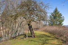 Baldwin-Apfelbaum auf Derby Reach-Wanderweg stockbild