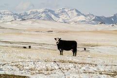 黑Baldy母牛 免版税图库摄影