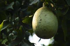 Bale fruit on the tree sun light drop. Bale fruit trer tree sun light drop stock photography