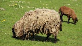 Bale las ovejas Graze With Happiness de la lámpara y de la madre foto de archivo libre de regalías