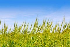 Balearic green wheat field in Formentera island Royalty Free Stock Image