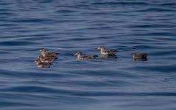 Balearic Shearwater Puffinus Mauretanicus Cory`s royalty free stock image
