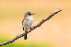 Balearic Spotted Flycatcher - Muscicapa striata balearica, Mallorca. Balearic Spotted Flycatcher - Muscicapa striata balearica is endemic to the Balearic Islands royalty free stock photos