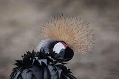 balearica żuraw koronujący popielaty regulorum Zdjęcia Stock
