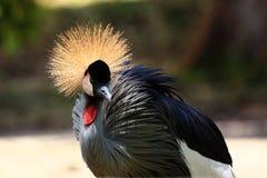 balearica żuraw koronujący popielaty regulorum Zdjęcie Royalty Free