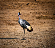 Balearica . Grey Crowned Crane (Balearica regulorum) head in profile Royalty Free Stock Image