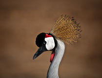 Balearica . Grey Crowned Crane (Balearica regulorum) head in profile stock photography
