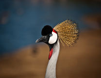 Balearica . Grey Crowned Crane (Balearica regulorum) head in profile Royalty Free Stock Photo