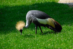 Balearica pavonina, Black Crowned Crane. The Black Crowned Crane (Balearica pavonina) is a bird in the crane family Gruidae. It was once called also Kaffir Crane Royalty Free Stock Images