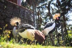 Balearica pavonina lub Koronowany żuraw obraz royalty free