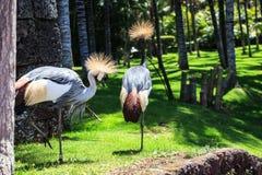 Balearica pavonina lub Koronowany żuraw fotografia royalty free