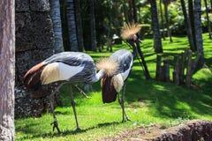 Balearica pavonina lub Koronowany żuraw zdjęcie royalty free