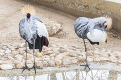 Balearica-regulorum, Grau krönte Kran Lizenzfreie Stockfotos