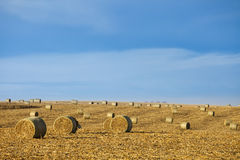 Baled corn in field Royalty Free Stock Image