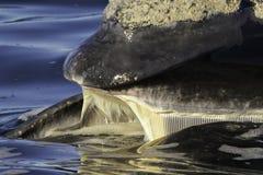 Baleen derecho meridional Foto de archivo libre de regalías