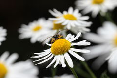Baleen insect. Sitting on a white flower royalty free stock image