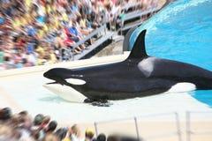 Baleia Fotografia de Stock