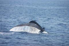 baleia Fotografia de Stock Royalty Free