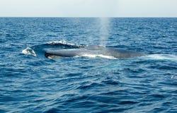 Baleia azul imagens de stock