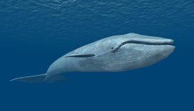 baleia azul Fotografia de Stock