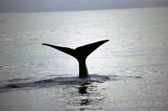 Baleia azul Foto de Stock