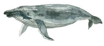 Baleia azul da aquarela Imagem de Stock