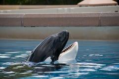 Baleia azul no oceanarium Imagem de Stock Royalty Free
