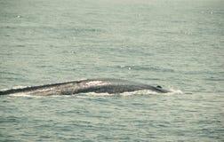 A baleia azul selvagem enorme mergulha no Oceano Índico Fundo da natureza dos animais selvagens Curso da aventura, indústria do t Imagens de Stock