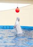 Baleia branca Fotografia de Stock Royalty Free