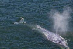 Baleia cinzenta Imagens de Stock