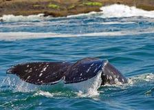 Baleia cinzenta Foto de Stock
