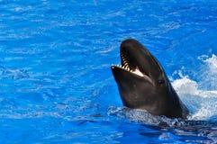 Baleia da beluga Foto de Stock Royalty Free