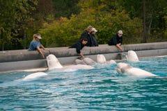 Baleia da beluga que alimenta em Marineland Canadá fotos de stock royalty free
