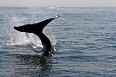 Baleia da dança Fotografia de Stock