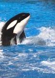 Baleia da orca Imagens de Stock Royalty Free