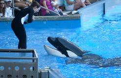 Baleia da orca Foto de Stock Royalty Free