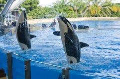 Baleia da orca Imagens de Stock