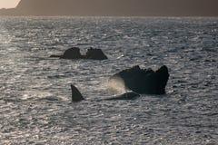 Baleia da orca, Nova Zelândia fotos de stock royalty free