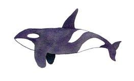 Baleia da orca ou de assassino Ilustração da aguarela Fotos de Stock Royalty Free