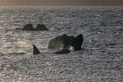 Baleia da orca, Wellington, Nova Zelândia imagem de stock