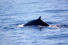 Baleia de aleta Fotografia de Stock Royalty Free