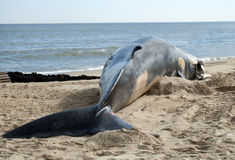 A baleia de aleta encalhou Foto de Stock