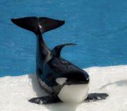Baleia de assassino Foto de Stock