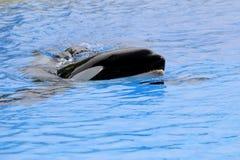 Baleia de assassino Fotografia de Stock